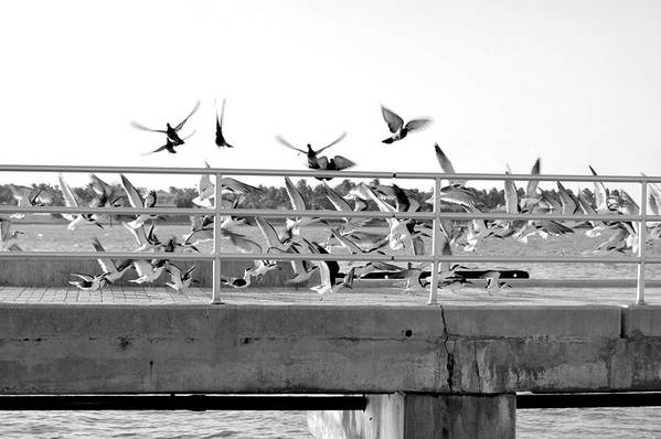 Black Art Print featuring the photograph Black Skimmers by Amy Nichter