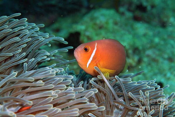 Amphiprion Nigripes Art Print featuring the photograph Blackfoot Anemonefish Hosted In A Magnificent Sea Anemone by Sami Sarkis