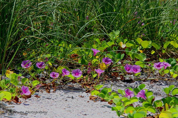 Cross Vines Art Print featuring the photograph Blooming Cross Vines Along The Beach by Barbara Bowen