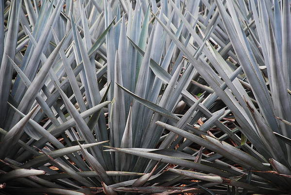Blue Agave Art Print featuring the photograph Blue Agave Tequila Mexico by Juan Gnecco