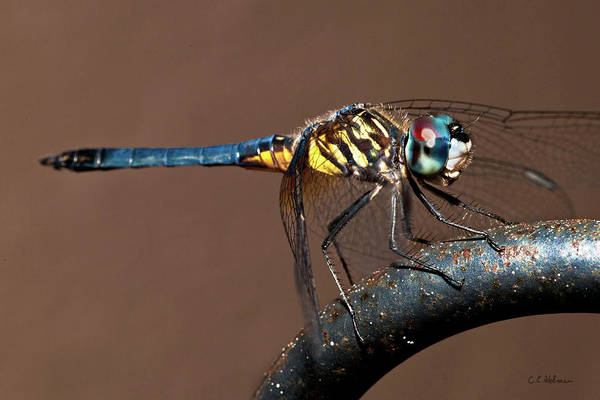 Dragonfly Art Print featuring the photograph Blue And Gold Dragonfly by Christopher Holmes