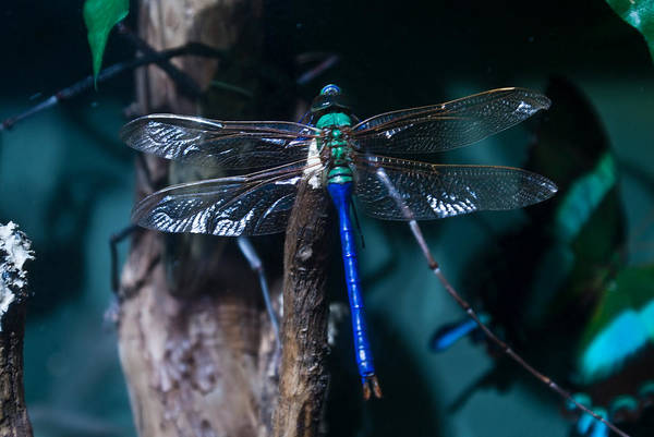Blue Art Print featuring the photograph Blue And Green Dragonfly by Douglas Barnett