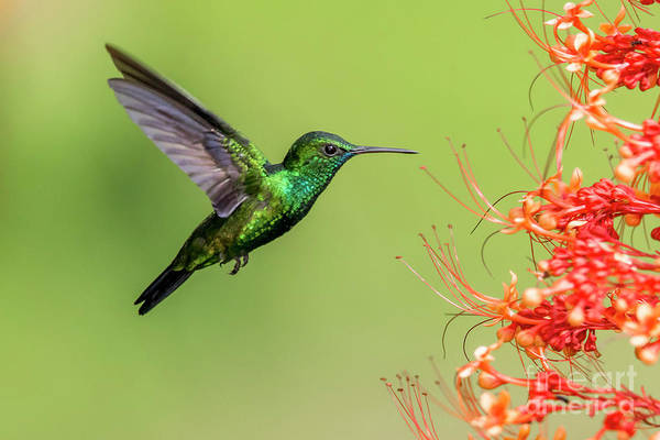 Hummingbirds Art Print featuring the photograph Blue Chinned Sapphire by Rachel Lee Young