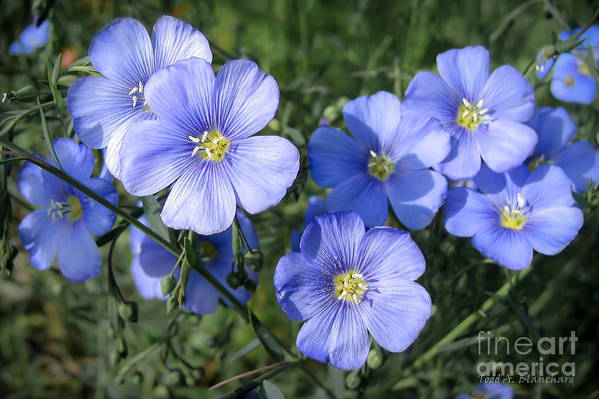 Flowers Art Print featuring the photograph Blue Flowers In The Sun by Todd Blanchard