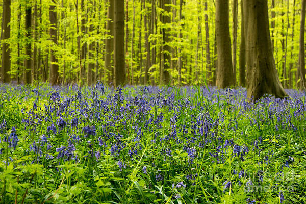 Bluebell Forest Path Art Print featuring the photograph Bluebell Wood by Brothers Beerens