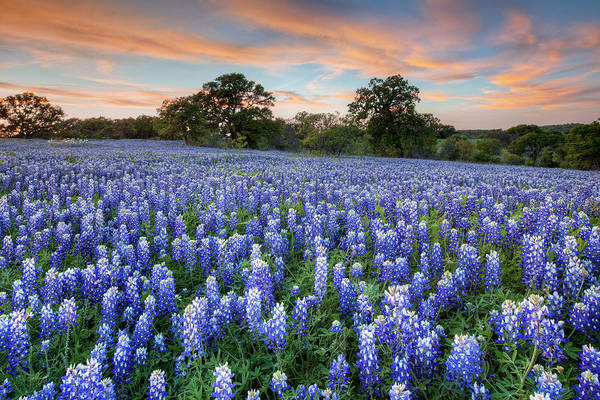 Bluebonnets Art Print featuring the photograph Bluebonnets On A Spring Evening 403-1 by Rob Greebon