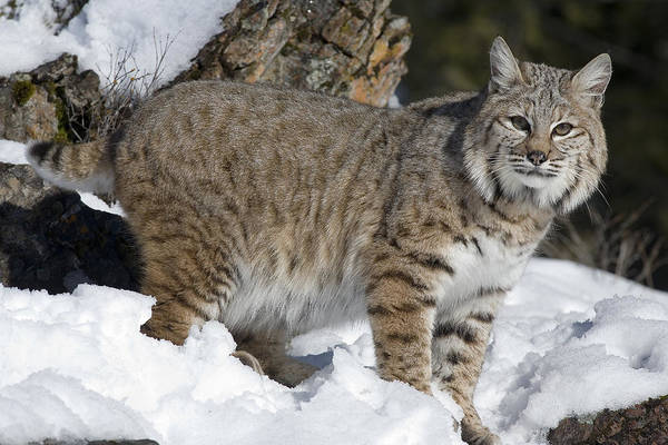 Mp Art Print featuring the photograph Bobcat Lynx Rufus In The Snow by Matthias Breiter