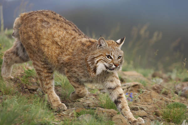 00176550 Print featuring the photograph Bobcat Stalking North America by Tim Fitzharris