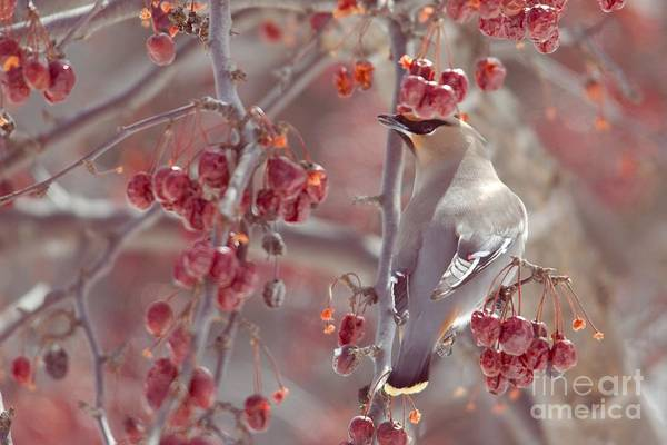 Bohemian Waxwing Art Print featuring the photograph Bohemian Waxwing 2 by Victoria Dauphinee