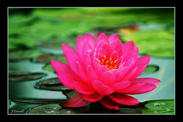 Water Lily Art Print featuring the photograph Bordered Water Lily by Jim Darnall