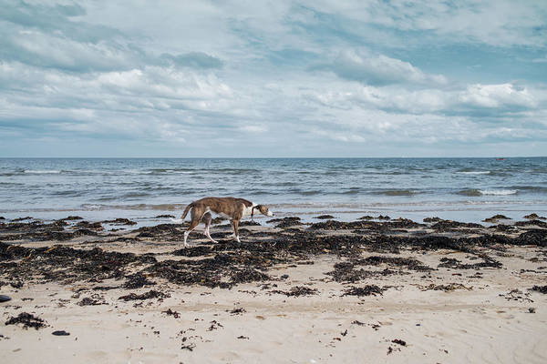 Dog Art Print featuring the photograph Borzoi Dog Stalking Alnmouth Beach by Jean Gill