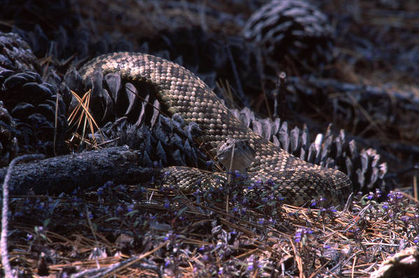 Rattlesnake Art Print featuring the photograph Bouquet Of Death by Soli Deo Gloria Wilderness And Wildlife Photography