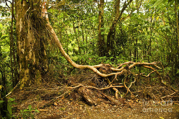 Tree Art Print featuring the photograph Branching Out In Costa Rica by Madeline Ellis