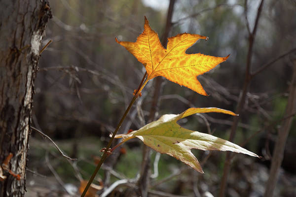 Fall Art Print featuring the photograph Bright And Sunlit Leaf, Arizona by Steve Wile