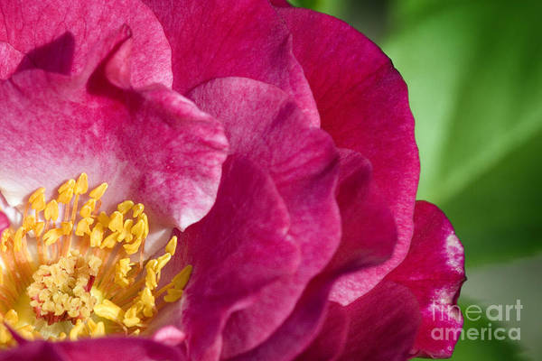 Rose Art Print featuring the photograph Bright Rose Bloom by Jeannie Burleson