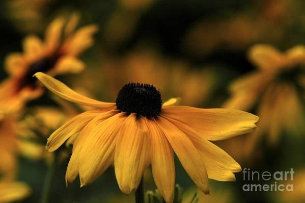Flower Art Print featuring the photograph Brown Eyed Susan by Dot Lestar