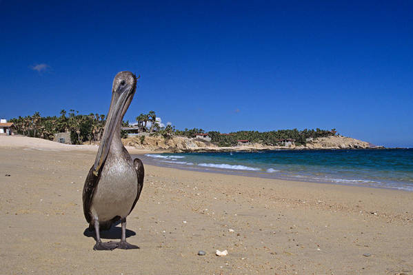Pelican Art Print featuring the photograph Brown Pelican At The Baja by John Harmon