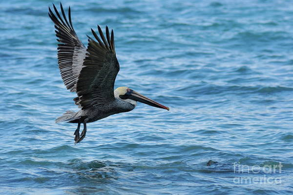 Feather Art Print featuring the photograph Brown Pelican In Flight Over Water by Sami Sarkis