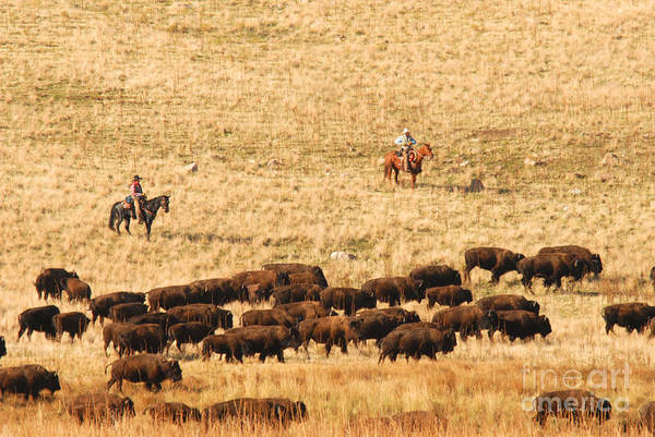 Utah Art Print featuring the photograph Buffalo Roundup by Dennis Hammer