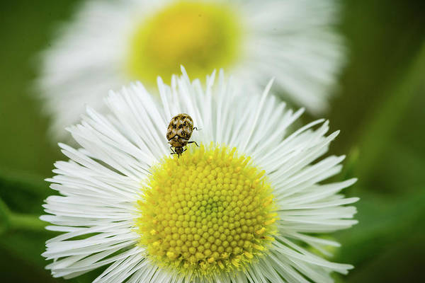 Macro; Flower; Bug; Dandelion Art Print featuring the photograph Bugged Flower by Becky Baysden