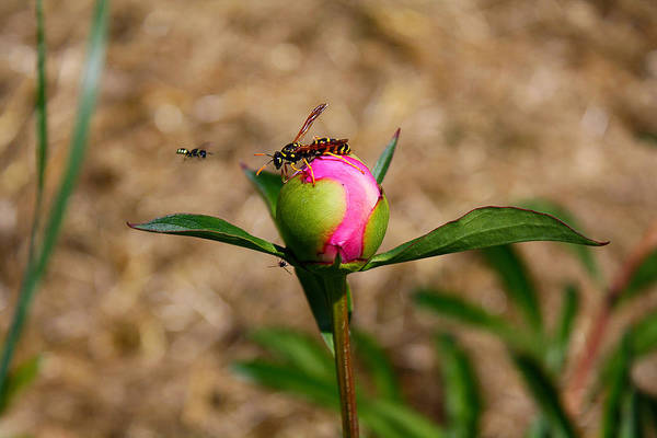 Peony Art Print featuring the photograph Bugs Wanting The Same Flower by Goldie Pierce