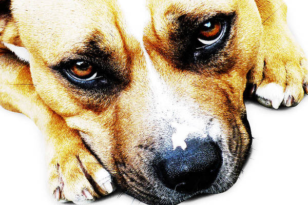 Staffordshire Bull Terrier Art Print featuring the photograph Bull Terrier Eyes by Michael Tompsett