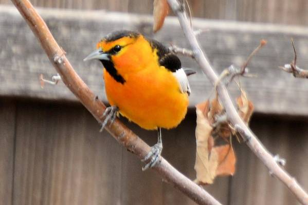 Bird Art Print featuring the photograph Bullock's Oriole by Wendy Fox