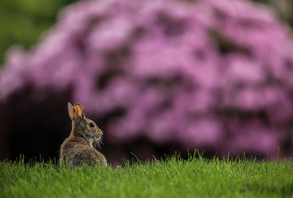 Bunny Art Print featuring the photograph Bunny In The Yard by Bob Cournoyer