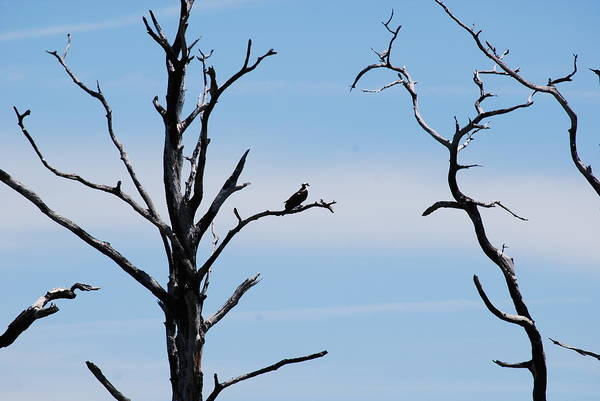 Wildlife Art Print featuring the photograph Burnt-tree Osprey by Peter McIntosh