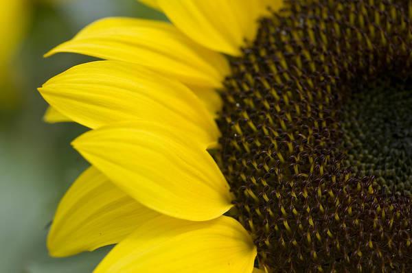 Sunflower Art Print featuring the photograph Burst Of Yellow by Peter Olsen