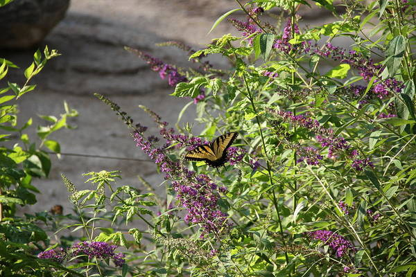 Butterfly Art Print featuring the photograph Butterfly On Flowers by Rebecca Pavelka