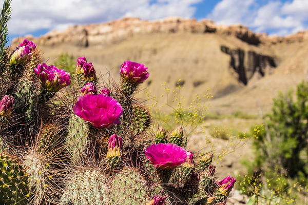 Cactus Art Print featuring the photograph Cactus In Desert Bloom by Dawn Zemaitis
