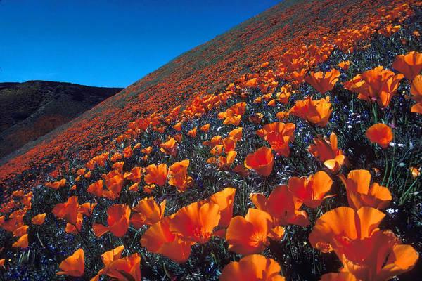 Poppy Art Print featuring the photograph California Poppies Quartz Hill by Brian Lockett