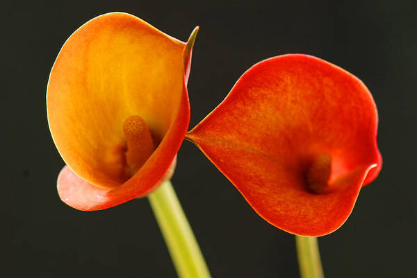 Flower Art Print featuring the photograph Calla Lily by Dennis Hammer