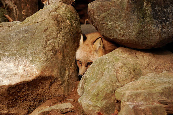 Fox Art Print featuring the photograph Can I Come Out Yet by Lori Tambakis