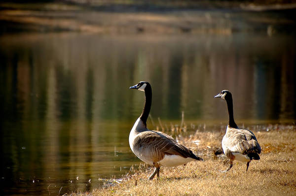 Goose Art Print featuring the photograph Canada Geese In Golden Sunlight by Rich Leighton