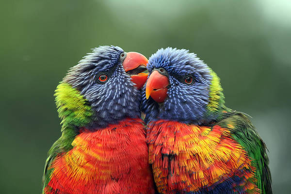 Rainbow Lorikeets Art Print featuring the photograph Canoodling In The Rain by Lesley Smitheringale