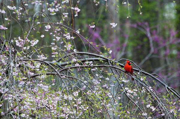 Bird Art Print featuring the photograph Cardinal In Flowering Tree by David Arment
