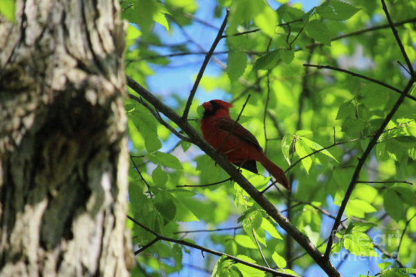 Illinois Art Print featuring the photograph Cardinal In The Springtime by Laura Birr Brown