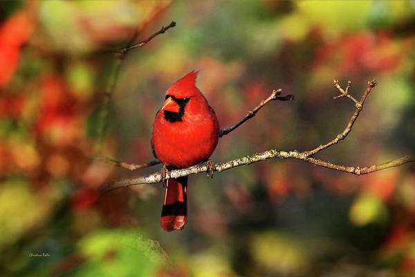 Bird Art Print featuring the photograph Cardinal Territory by Christina Rollo