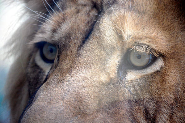 Lion Art Print featuring the photograph Cats Eyes by Lisa Kane