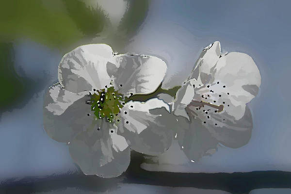 Cherry Art Print featuring the photograph Cherry Blossoms by Marti Buckely
