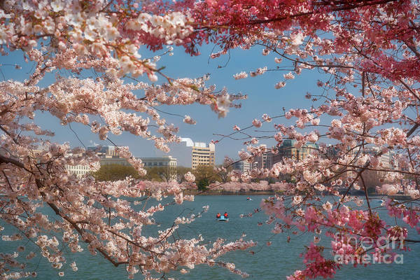 Cherry Art Print featuring the photograph Cherry Blossoms On The Edge Of The Tidal Basin Three by Susan Isakson