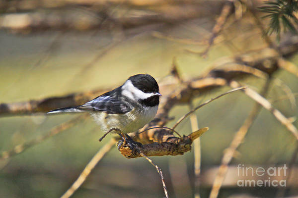 Additional Tags: Art Print featuring the photograph Chickadee-11 by Robert Pearson