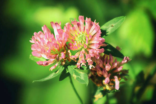 Flowers Art Print featuring the photograph Chives by Frances Lewis