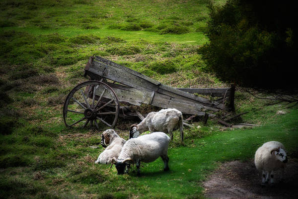 California Art Print featuring the photograph Clint's Sheep by Patrick Boening