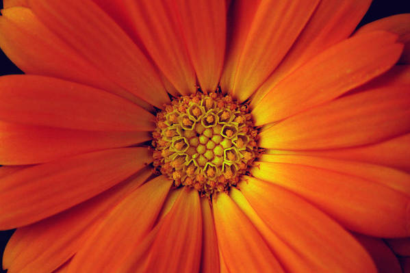 Plant Art Print featuring the photograph Close Up Of An Orange Daisy by PIXELS XPOSED Ralph A Ledergerber Photography