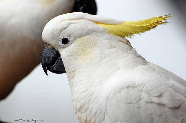 Cockatoo Art Print featuring the photograph Cockatoo 3237 by PhotohogDesigns