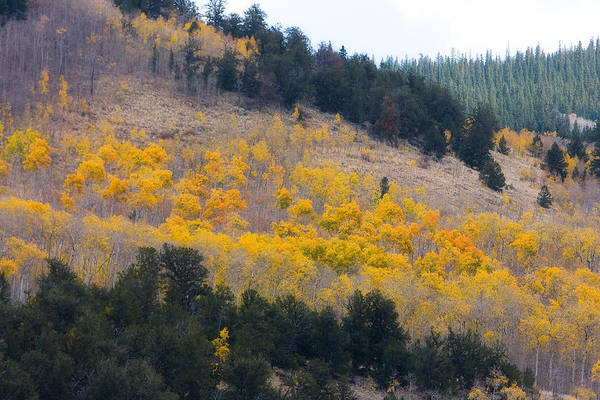 Trees Art Print featuring the photograph Colorado Mountain Aspen Autumn View by James BO Insogna