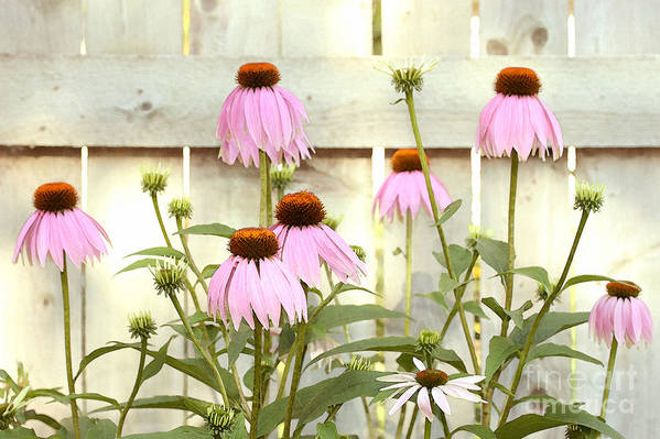 Flower Garden Art Print featuring the photograph Coneflower Patch by Steve Augustin
